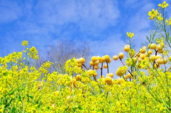 4犬寄峠の黄色い丘16.03.14