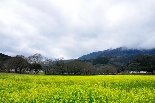 3大洲菜の花16.03.14