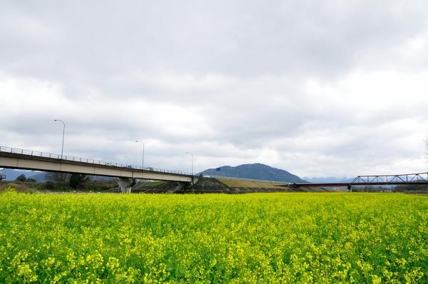 5大洲菜の花16.03.14