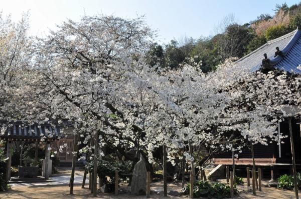 1うば桜16.03.20