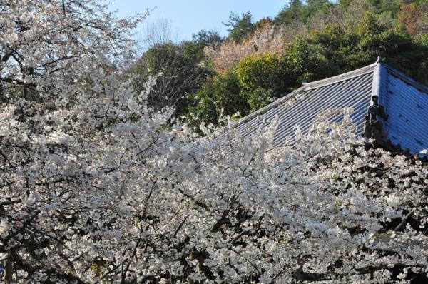2うば桜16.03.20