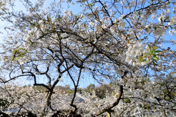 3うば桜16.03.20