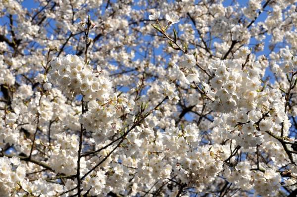 4うば桜16.03.20
