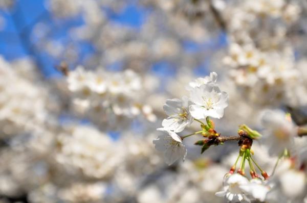 5うば桜16.03.20