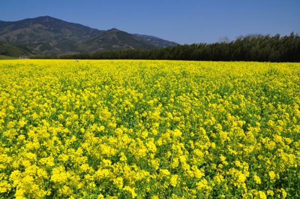大洲菜の花1