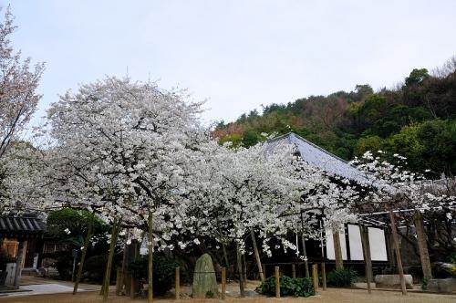 1うば桜20160323