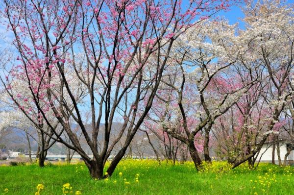 1陽光桜16.03.23