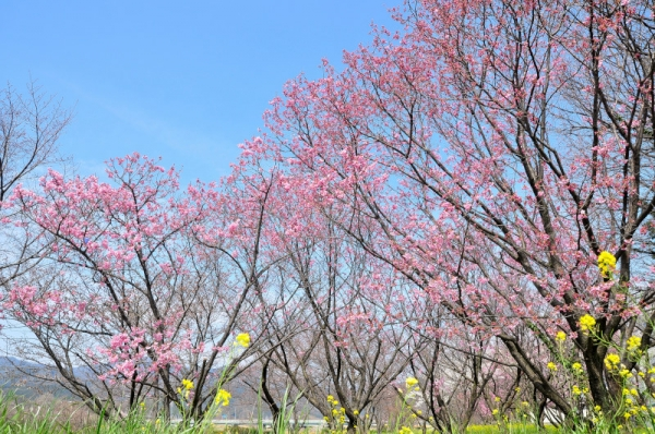 3陽光桜16.03.23