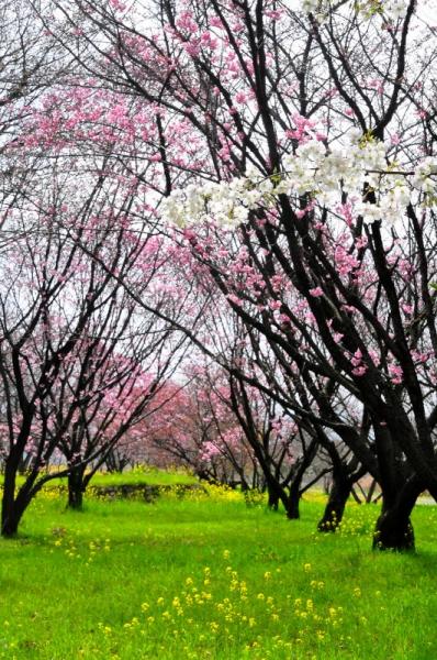 4陽光桜16.03.23