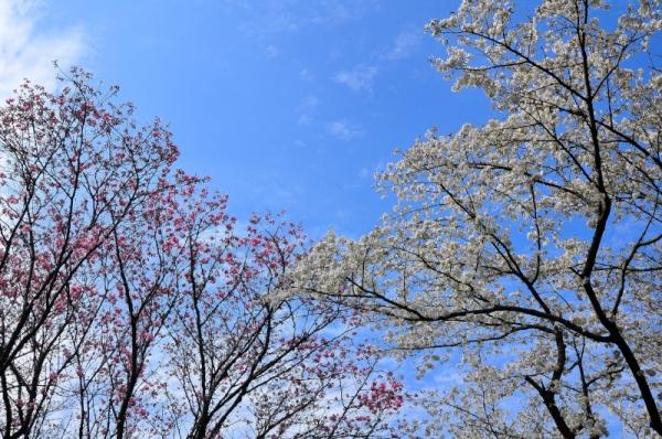 5陽光桜16.03.23