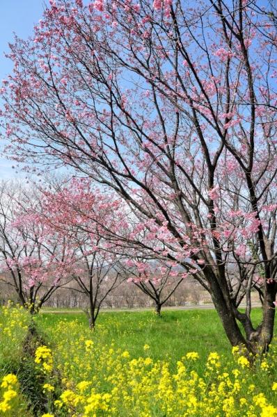 6陽光桜16.03.23