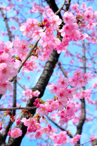 7陽光桜16.03.23