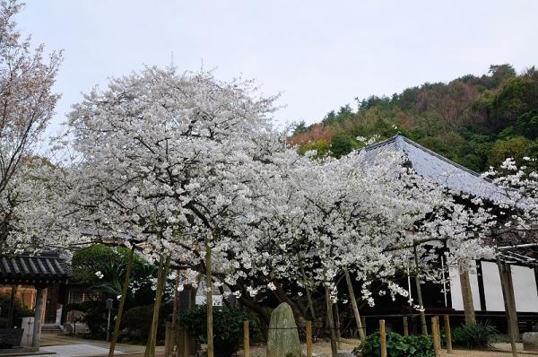 1大宝寺うば桜16.03.23