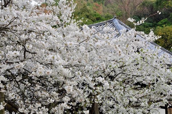 2大宝寺うば桜16.03.23