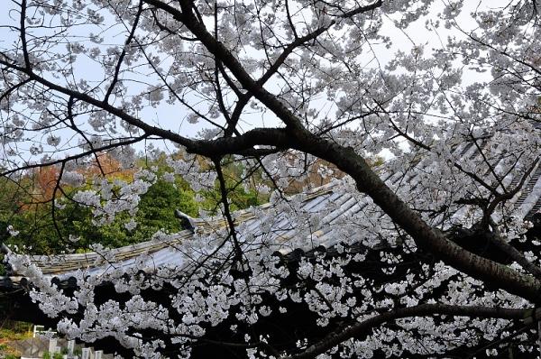 3大宝寺うば桜16.03.23
