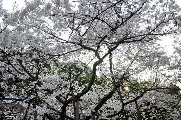 4大宝寺うば桜16.03.23