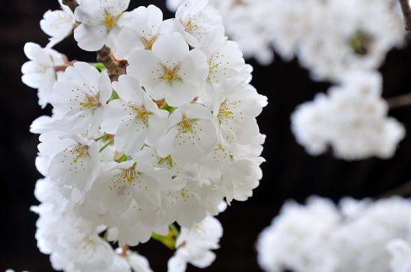 5大宝寺うば桜16.03.23