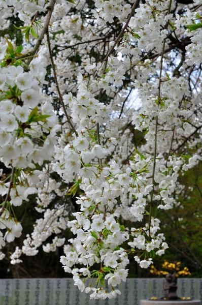 6大宝寺うば桜16.03.23