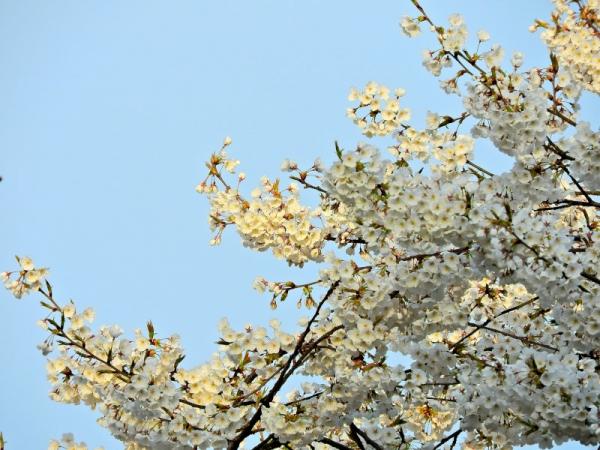 7大宝寺うば桜16.03.23