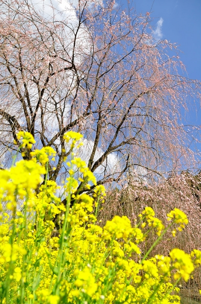 5相野の花16.03.27