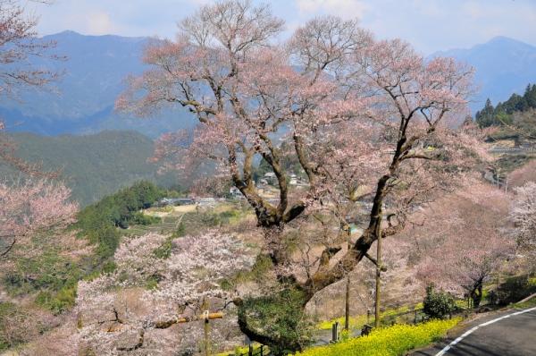 1ひょうたん桜