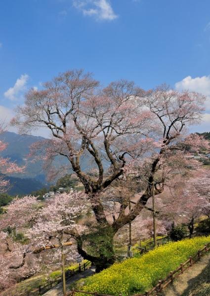 4ひょうたん桜16.03.28