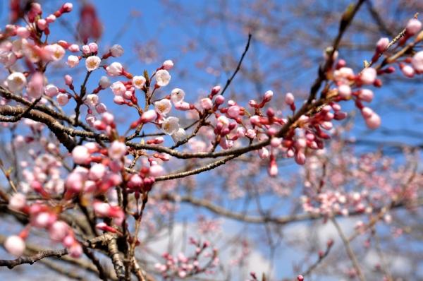 5ひょうたん桜16.03.28