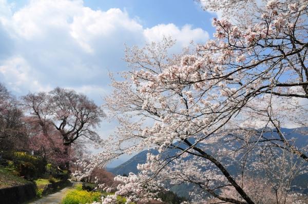 6ひょうたん桜16.03.28