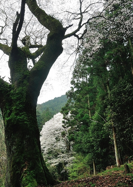 1源太桜16.04.03