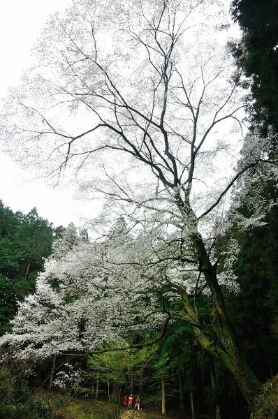 2源太桜16.04.03