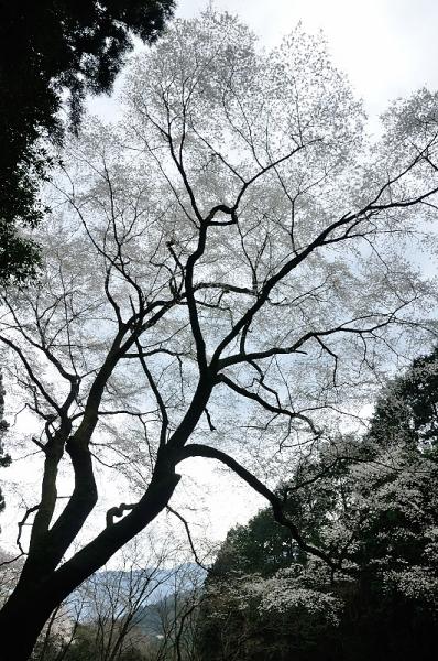 3源太桜16.04.03