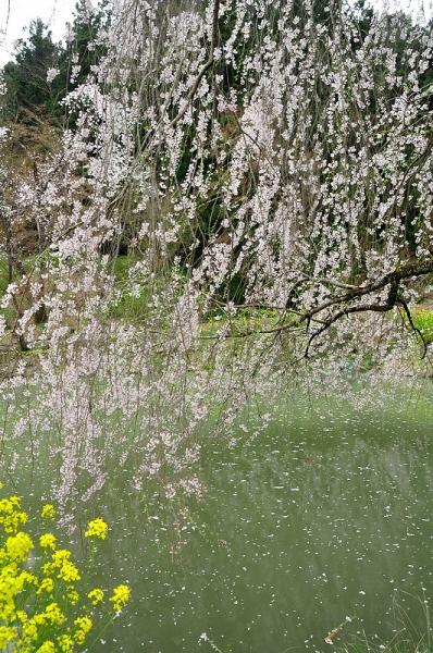 4相野の花16.04.03