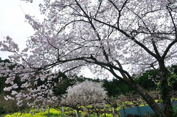 7相野の花16.04.03