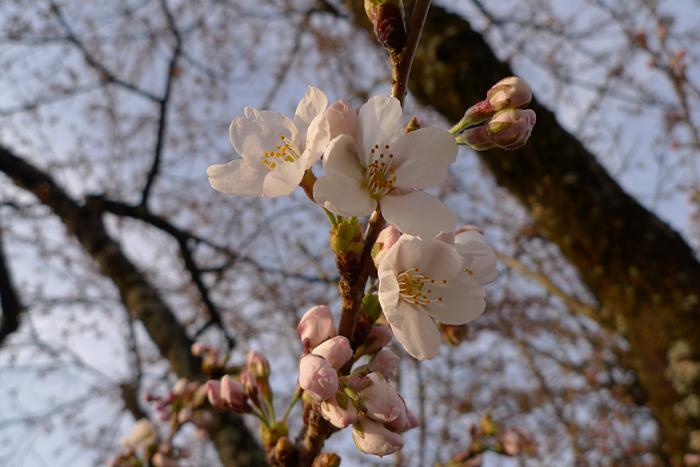 2016 春 桜 咲く 1