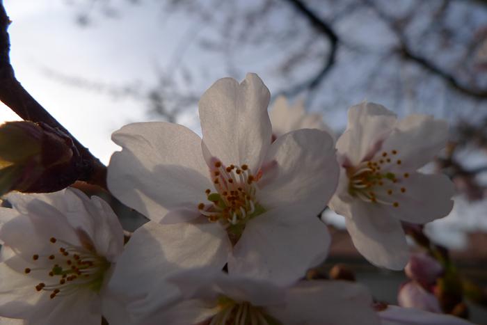 2016 春 桜 咲く 2