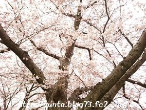 我が家の近所の桜の木