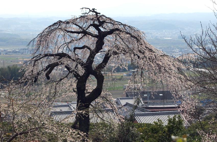 地蔵院の桜01