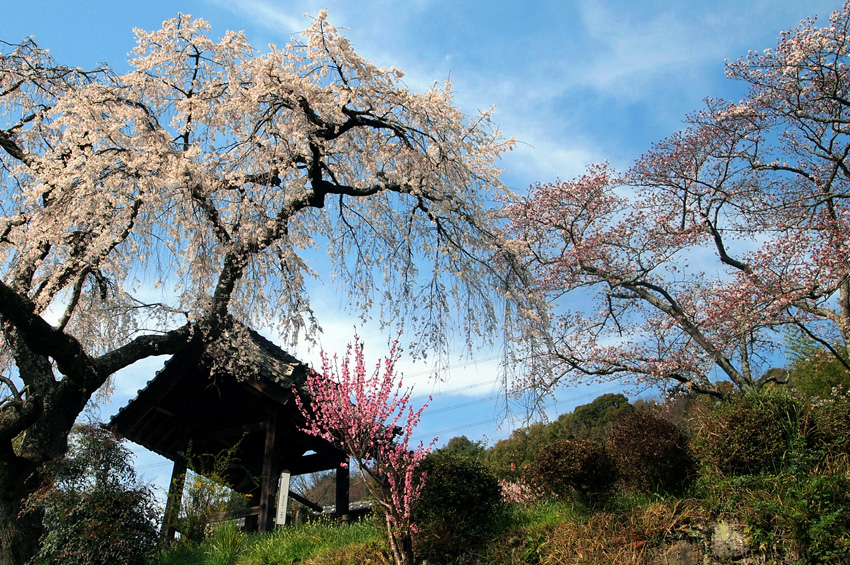 地蔵院の桜03