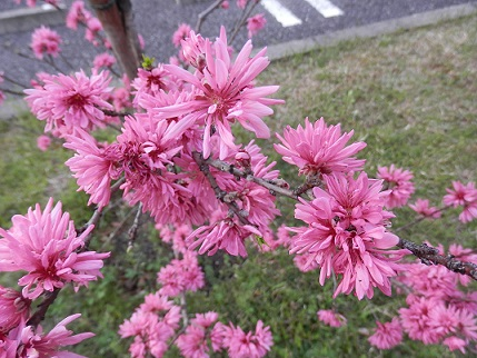 pinkunohana20160412.jpg