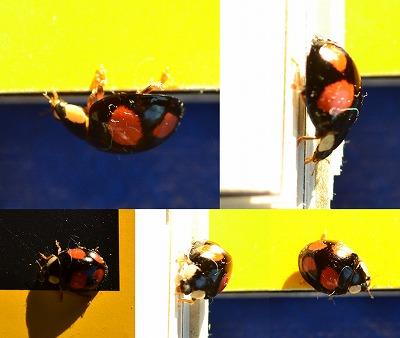 Harmonia axyridis Veelkleurig Aziatisch lieveheersbeestje col 01