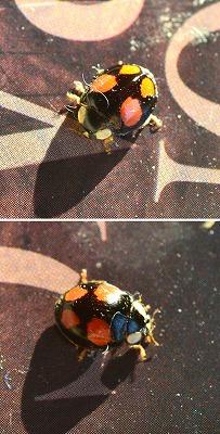 Harmonia axyridis Veelkleurig Aziatisch lieveheersbeestje col 01-2