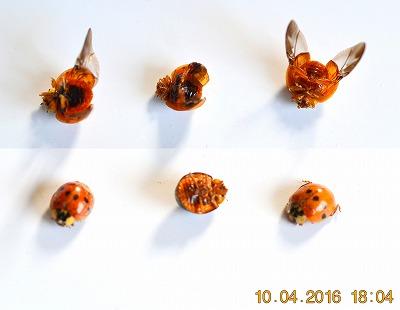 Harmonia axyridis Veelkleurig Aziatisch lieveheersbeestje col 03