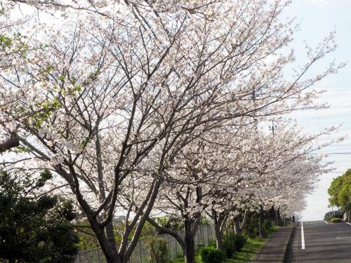 桜満開5日