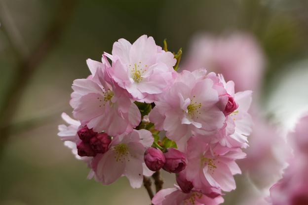 関山(かんざん)八重桜