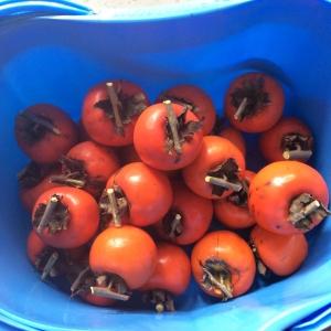 渋柿初収穫