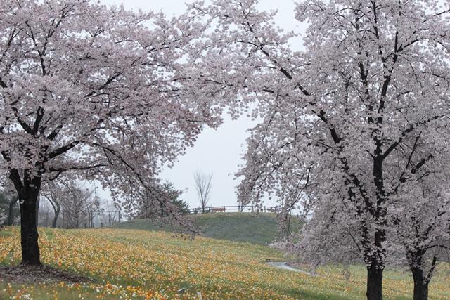 IMG_3861桜とポピー0408