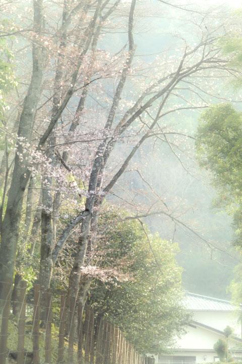 朝もやと桜