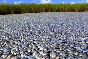 Indian-River-Lagoon-fish-kill-in-Florida-10.jpg