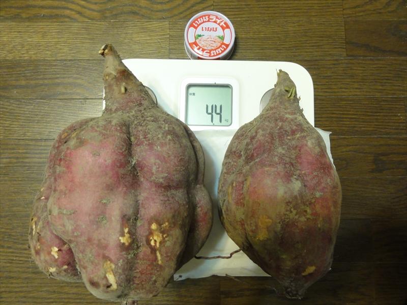 巨大サツマイモ2個