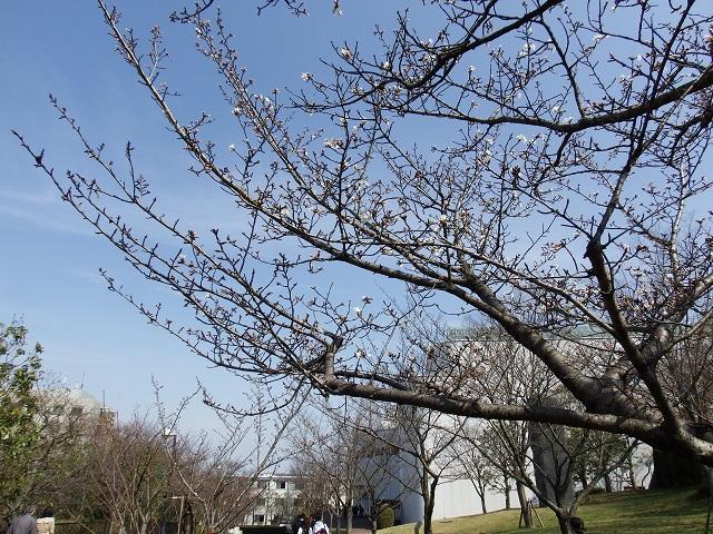 経法大 『桜』 開花宣言!